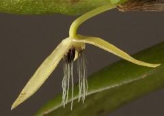 Ecco la prima orchidea notturna