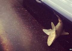New York: trovato uno squalo nella metropolitana