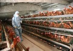 Aviaria, un caso di contagio in Emilia Romagna