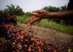 Ue: olio di palma non più al bando, rischi sulla salute ridotti