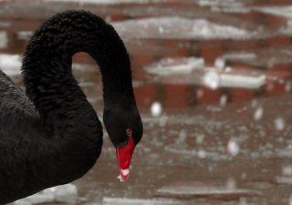 I fondi che hanno scommesso sul cigno nero spiccano il volo