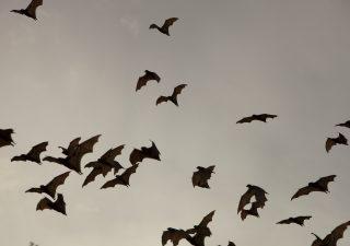 Pandemia: anche la prossima volerà sulle ali dei pipistrelli